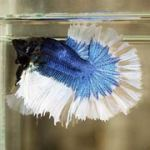 blue-combination-halfmoon-betta-fish