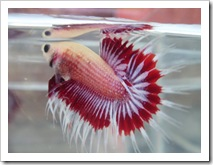crowntail-cupang serit
